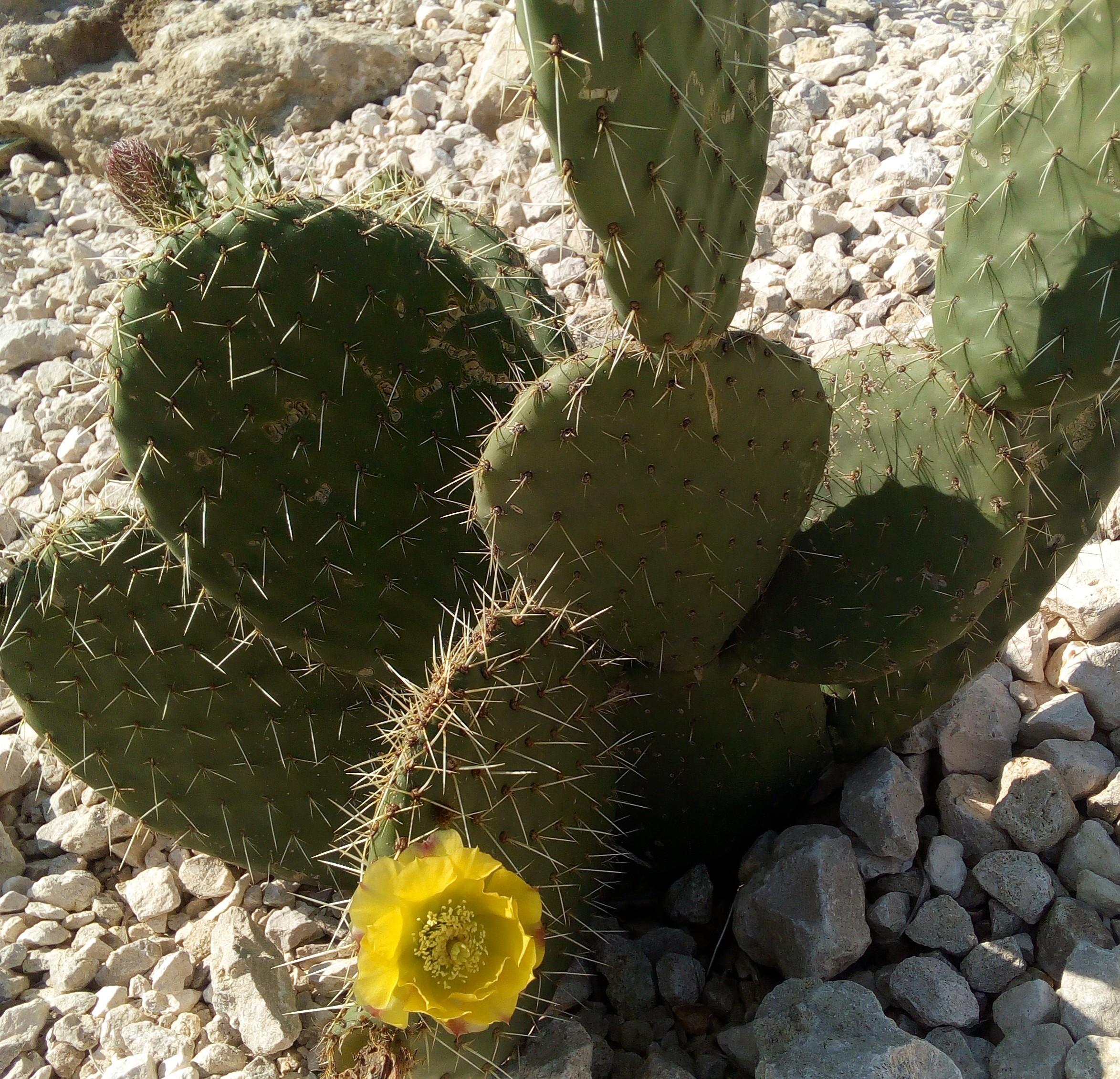 cactus en fleur jaune